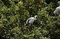 Asian openbill stork (Anastomus oscitans) from Ranganathittu Bird Sanctuary JEG4051.JPG