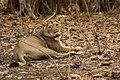 Asiatic Lioness-3.jpg