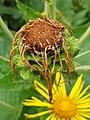 Asterales - Inula helenium - 5.jpg
