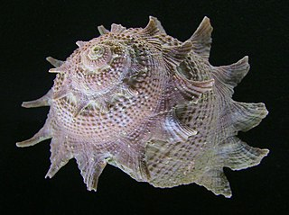 Turbinoidea Superfamily of gastropods