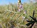 Astragalus flexuosus (26977224794).jpg