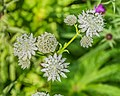 Astrantia major in PNR Pyrenees ariegeoises.jpg