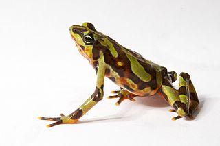 <i>Atelopus varius</i> species of amphibian