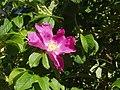 Atlas roslin pl Róża pomarszczona 1166 7793.jpg