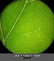 Atriplex micrantha sl42.jpg