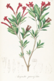Augusta parvifolia Pohl102.png