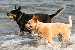 Australian Cattle Dogs red and blue.jpg