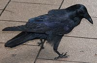 a black bird looking downwards on tiles