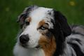 Australian shepherd 2 coloured eyes.jpg