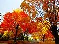 Autumn Colors in Madison - panoramio (10).jpg