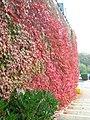 Autumn Leaves on Hospital Car Park Wall - geograph.org.uk - 391693.jpg
