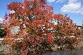 Autumn Triadica sebifera trees by a river in Saga.jpg