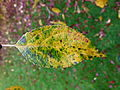 Autumn leaf 1.JPG