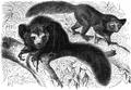 Aye-Aye (Chiromys madagascariensis).png