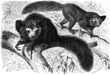 Aye-aye (a lemuriform primate with large head, ears, and eyes; black, wiry fur; long, bushy tail; and hands with one unusually thin and long middle finger) perched on a branch
