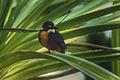 Azure Kingfisher - Kakadu Image28 (16316175401).jpg