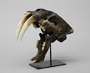 Saber-toothed cat - Smilodon skull cast with jaws at maximum gape