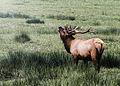 BLM Winter Bucket List -12- Dean Creek Elk Viewing Area, Oregon, for Its Roosevelt Elk (16189705375).jpg