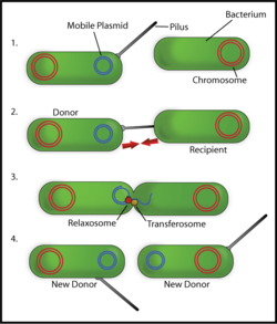 Figure 4: Overview of Bacterial conjugation