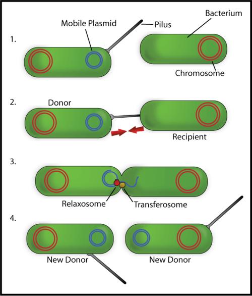Bacterial Conjugation en