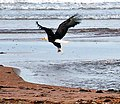 Bald Eagle catching fish (7376950460).jpg