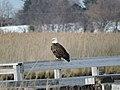 Bald eagle on boardwalk at Eastern Neck National Wildlife Refuge (34280805901).jpg