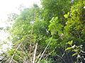 Bambusa vulgaris Schrad. ex J.C.Wendl. - La Lagunita 2013 001.JPG