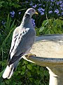 Band-tailed Pigeon (9695503026).jpg