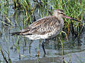 Bar-tailed Godwit Cairns RWD.jpg