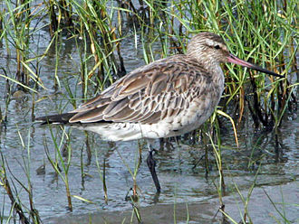 Bar-tailed godwit - Non-breeding plumage, Cairns, Australia