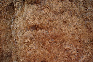 Bark Sequoiadendron giganteum.JPG