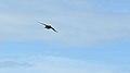 Barn Swallow (Hirundo rustica) - Norfolk County, Ontario 2019-06-09 (01).jpg