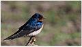 Barn Swallow (Hirundo rustica) by Dharani Prakash.jpg