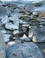 Barnacle goose (Branta leucopsis)(valkoposkihanhi) at Kallahti Helsinki.jpg