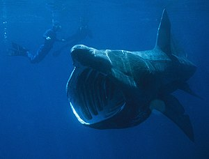 Basking shark - A basking shark filter feeding
