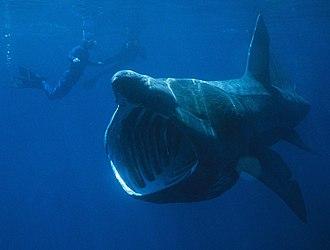 Basking shark - A basking shark filter feeding