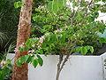 Bauhinia monandra 0002.jpg