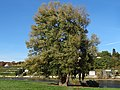 Baum am Blasewitzer Elbufer (1795).jpg