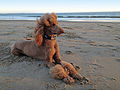 Beach Poppy! (8055780773).jpg
