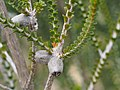 Beaufortia sprengelioides (fruit).jpg
