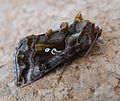 Beautiful Golden 'Y'. Autographa pulchrina - Flickr - gailhampshire.jpg