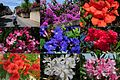 Beautiful flowers near Bosseron and the villages at the Gard district - panoramio.jpg