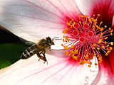 Bee-landing-on-flower-0b.jpg