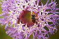 Bee macro.jpg