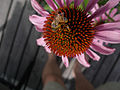 Bee on Echinacea (51111207).jpg