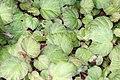 Begonia Boomer 2zz.jpg