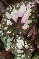 Begonia rex-cultorum Lucille Closson 1zz.jpg