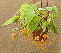 Begonia sutherlandii 150803-1.jpg