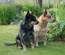 Two Australian Cattle Dogs one of which is red and the other blue