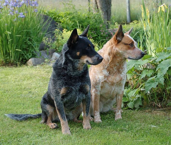 The Australian Cattle Dog: The Drover's Dog, Dog, Cat and other Pet ...